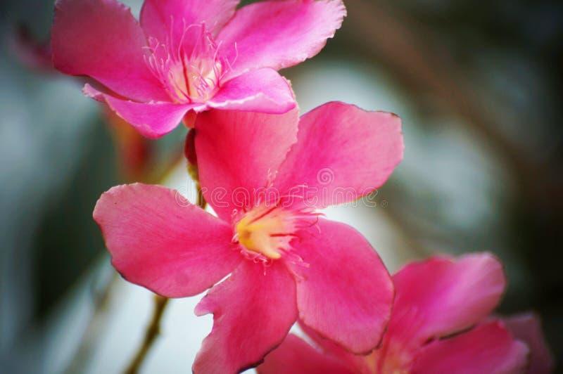 Rosa/flores roxas do oleandro imagem de stock royalty free