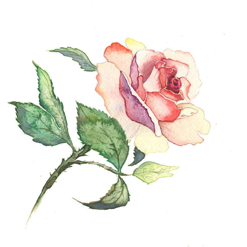 A rosa floresce a aquarela da pintura da aquarela imagem de stock royalty free