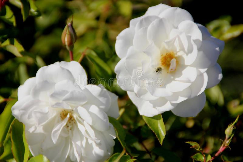 Rosa floribunda ` góry lodowa ` obraz royalty free