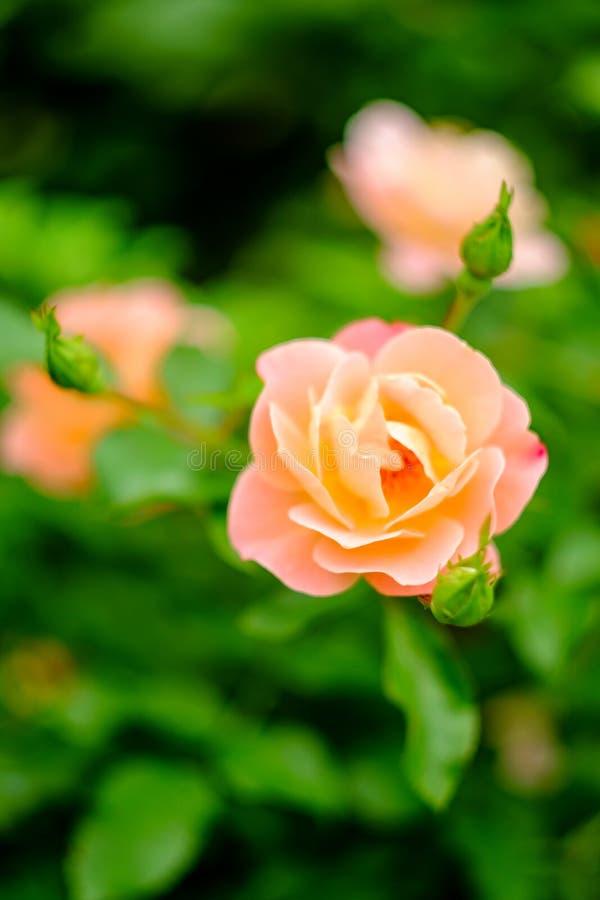 Rosa Floribunda ros arkivbild