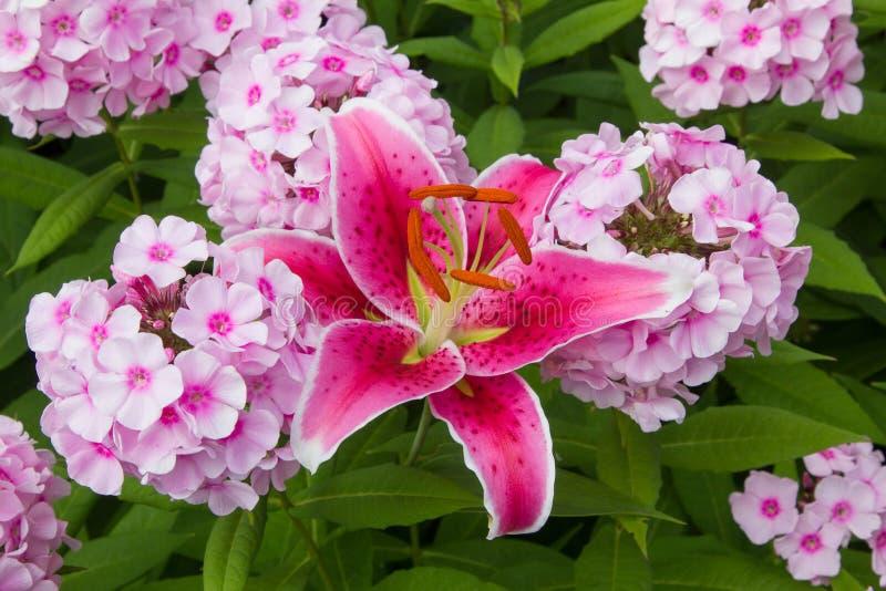 Rosa flox- och brandliljablomningar arkivfoton