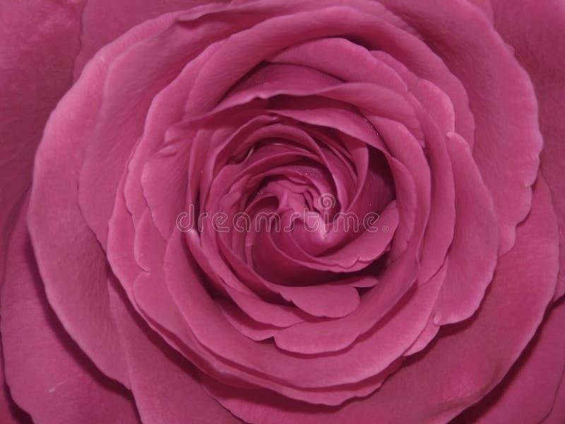 Rosa Floyd Rose stockbild