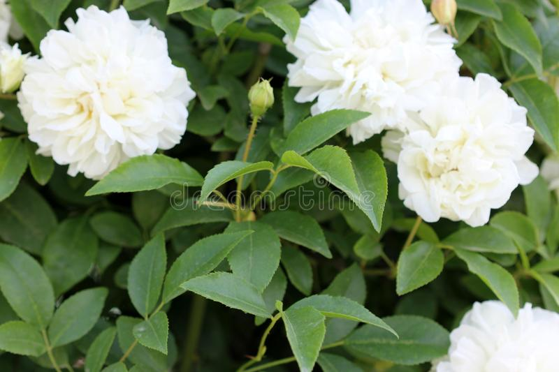 Rosa x fortuniana, Fortuniana Rose, Hybrid Banksia Rose stock photography