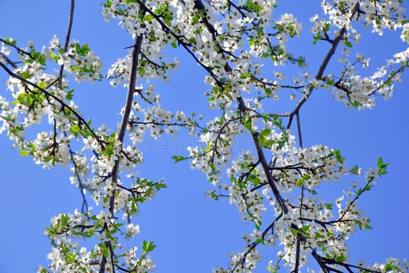 Rosa Foto Plum Blossom Bloom Tree Whites auf Lager stockbild