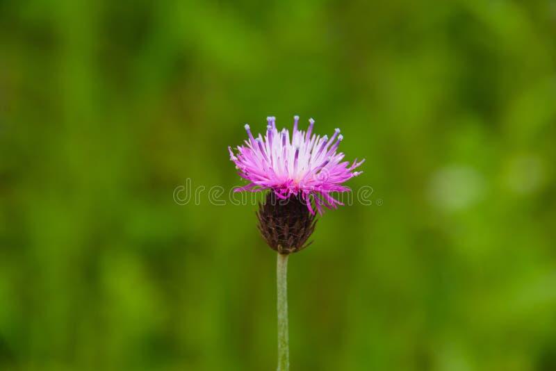 Rosa Frühlingsblume auf Wiese stockfotos