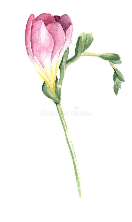 Rosa freesiablomma stock illustrationer