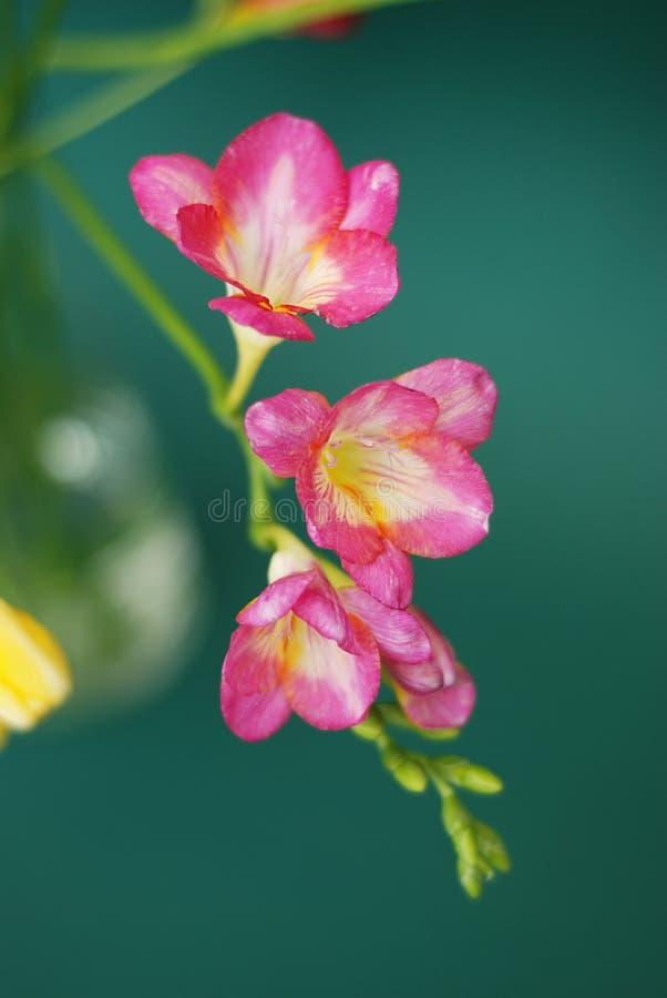 Rosa freesiagrupp av blommor som isoleras på grön bakgrund Fjädra den tid… ron lämnar, naturlig bakgrund Kopiera utrymme för text arkivfoton