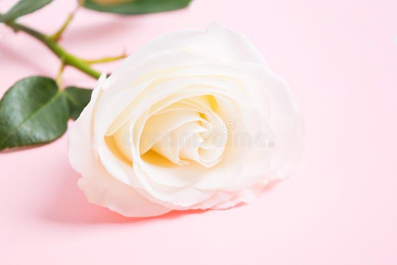 Rosa fresca branca sobre o fundo pastel cor-de-rosa Floresça a decoração fotos de stock