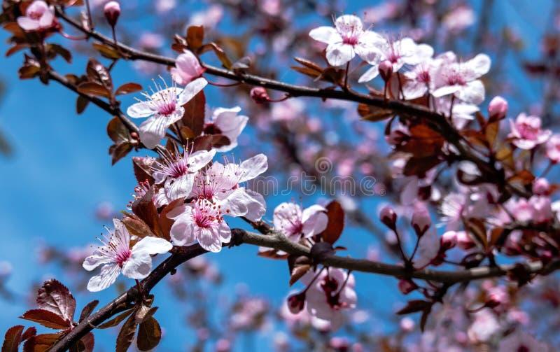 Rosa fresco Cherry Blossom em uma árvore contra o céu azul Cena bonita da mola Hanami fotografia de stock