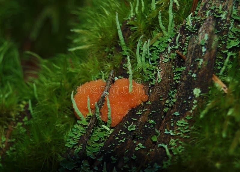 Rosa Fruchtkörper eines Schlammform Tubifera-ferruginosa bilden sich lizenzfreie stockbilder
