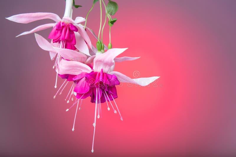 Rosa fuchsiaslut för härlig blomma upp på röd bakgrund Begrepp för hälsningkort kopiera avstånd Födelsedag moder` s, kvinna` s, W arkivbilder