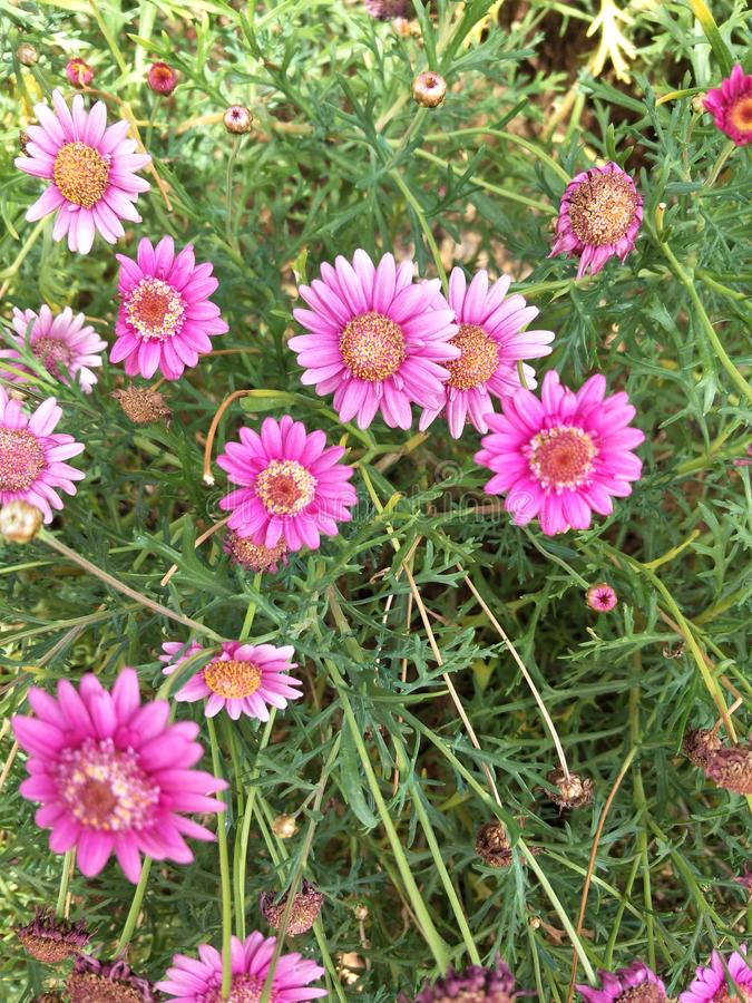 Rosa Gänseblümchen stockbild