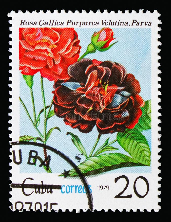 Rosa gallica, Flowers - Roses serie, circa 1979. MOSCOW, RUSSIA - AUGUST 18, 2018: A stamp printed in Cuba shows Rosa gallica, Flowers - Roses serie, circa 1979 stock image