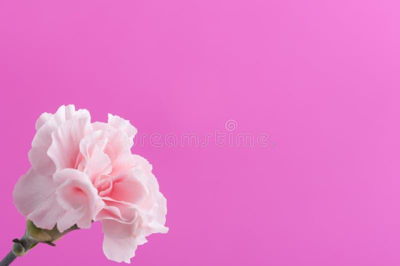 Rosa Gartennelken auf Hintergrund lizenzfreies stockfoto