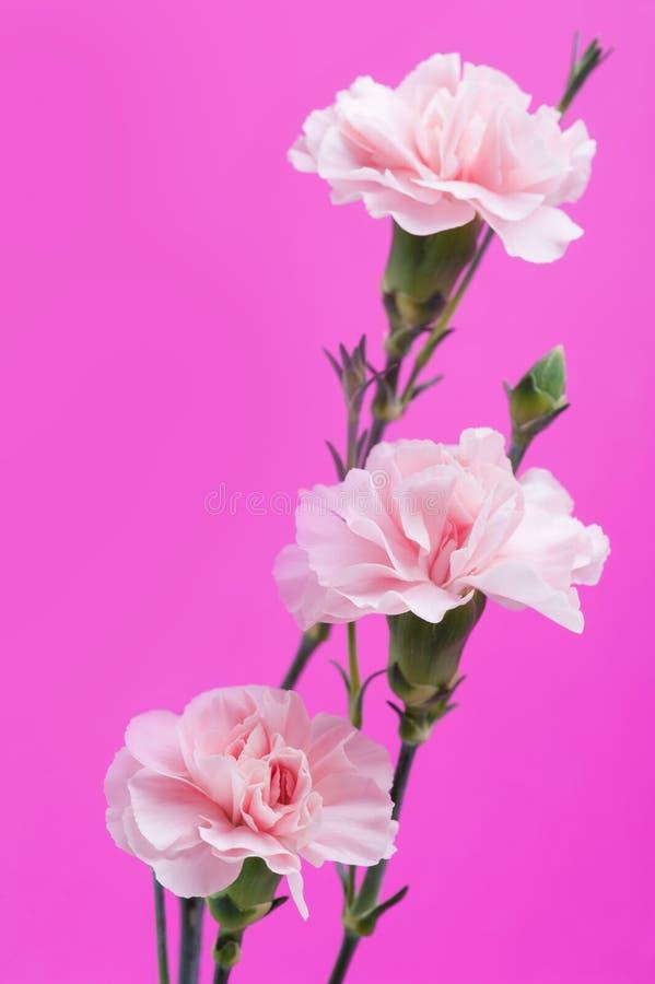 Rosa Gartennelken auf Hintergrund lizenzfreie stockfotos