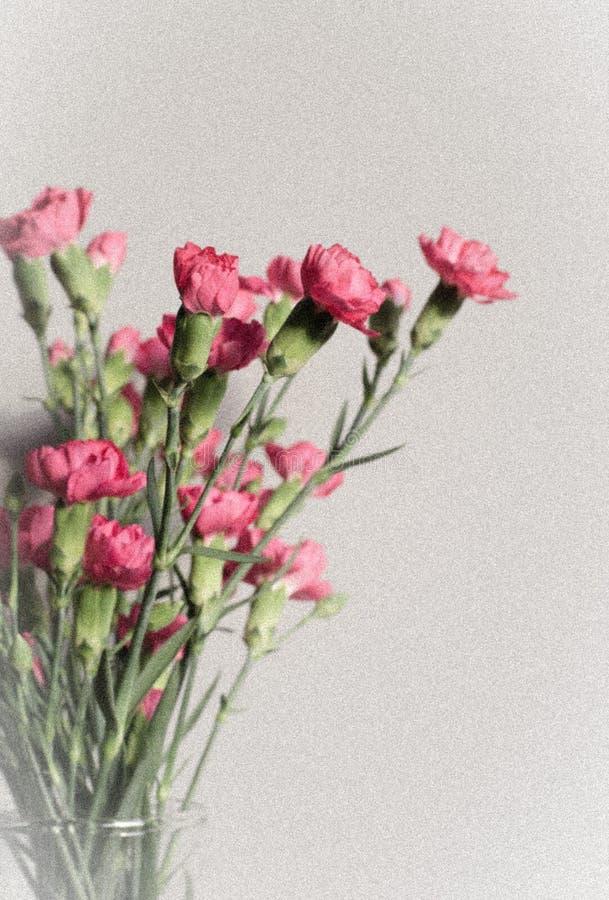 Rosa Gartennelken mit Knospen Karte Abschluss oben Kleiner cropy Raum für lizenzfreie stockfotos