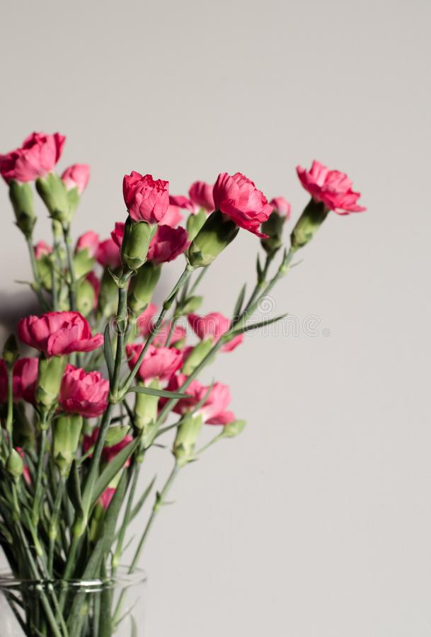 Rosa Gartennelken mit Knospen Karte Abschluss oben Kleiner Kopienraum für stockfotografie