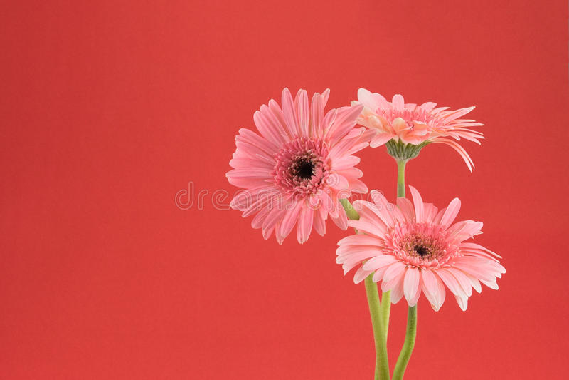 Rosa Gebera blommabukett arkivfoton