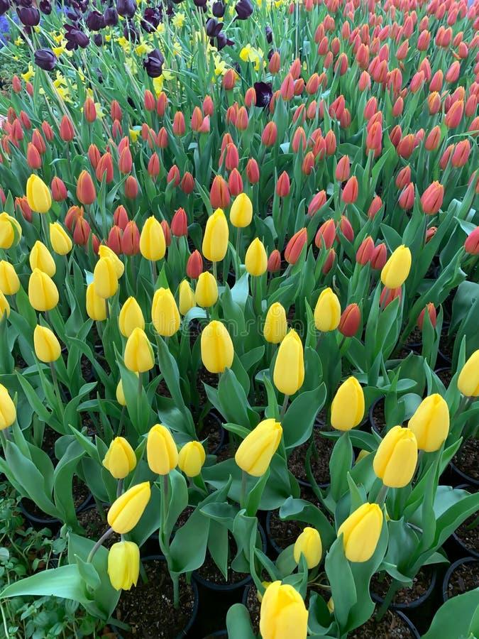 Rosa gelbe und purpurrote Tulpenanzeige lizenzfreies stockfoto