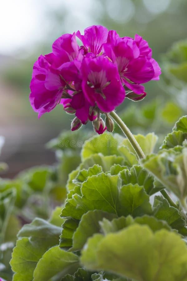 Rosa, gerânio do jardim na folha verde verticalmente foto de stock