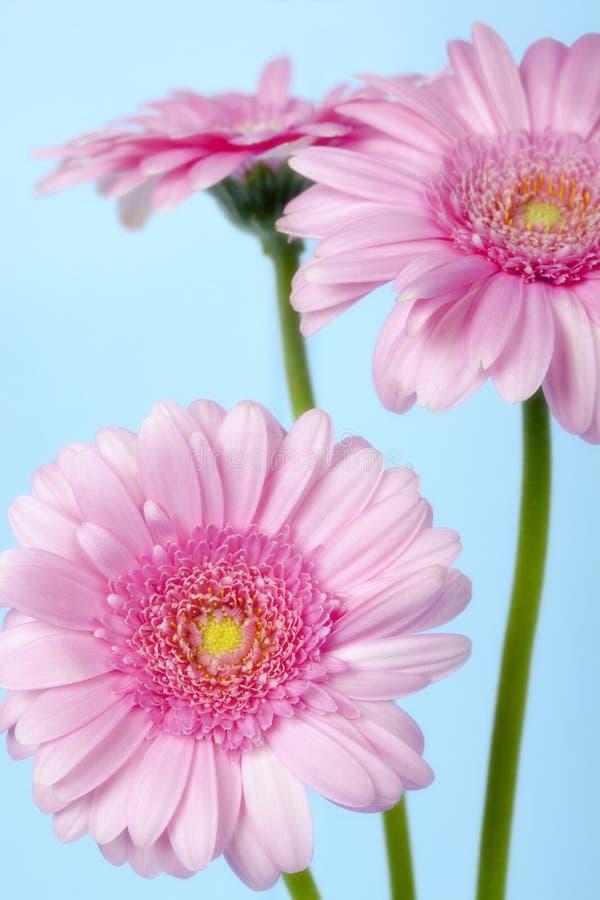 Rosa Gerbera-Gänseblümchen über Pastellblau lizenzfreie stockfotos