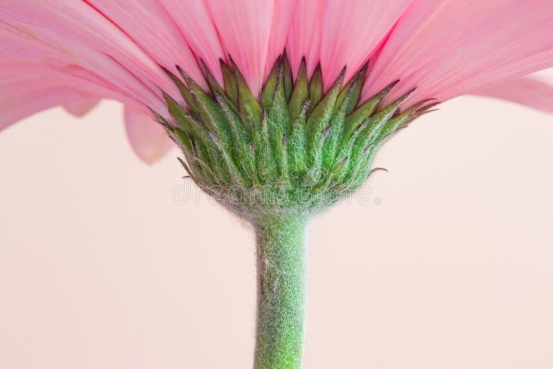 Rosa gerberablomma med den gröna stjälk arkivfoton