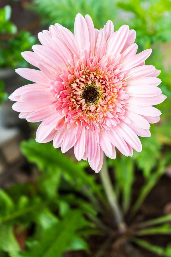 Rosa Gerberagänseblümchen. stockfoto