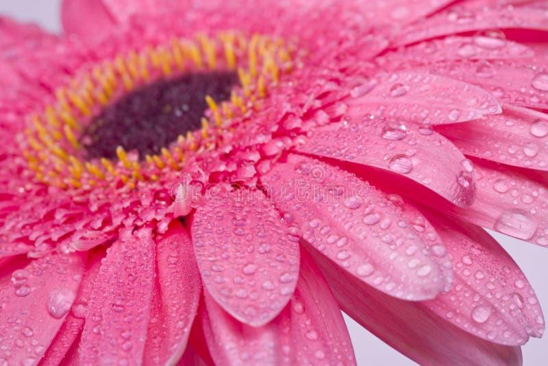 Rosa Gerberagänseblümchen-Blumennahaufnahme lizenzfreies stockbild