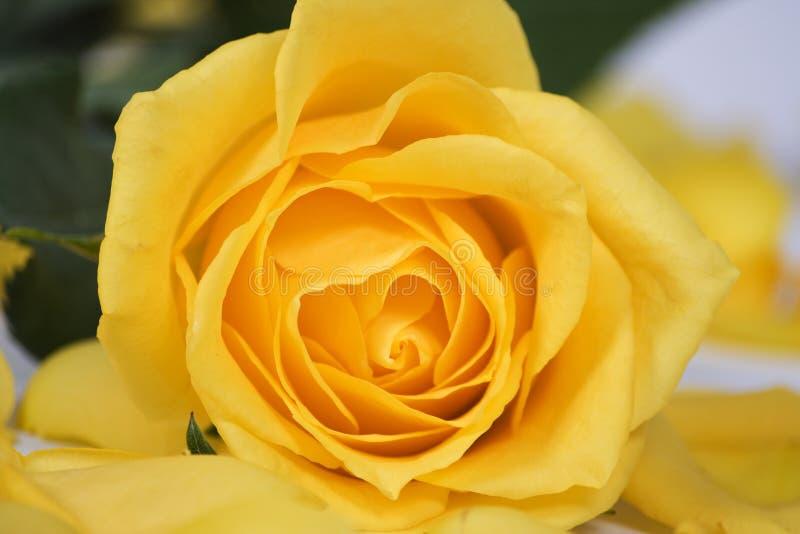 Rosa gialla fotografia stock