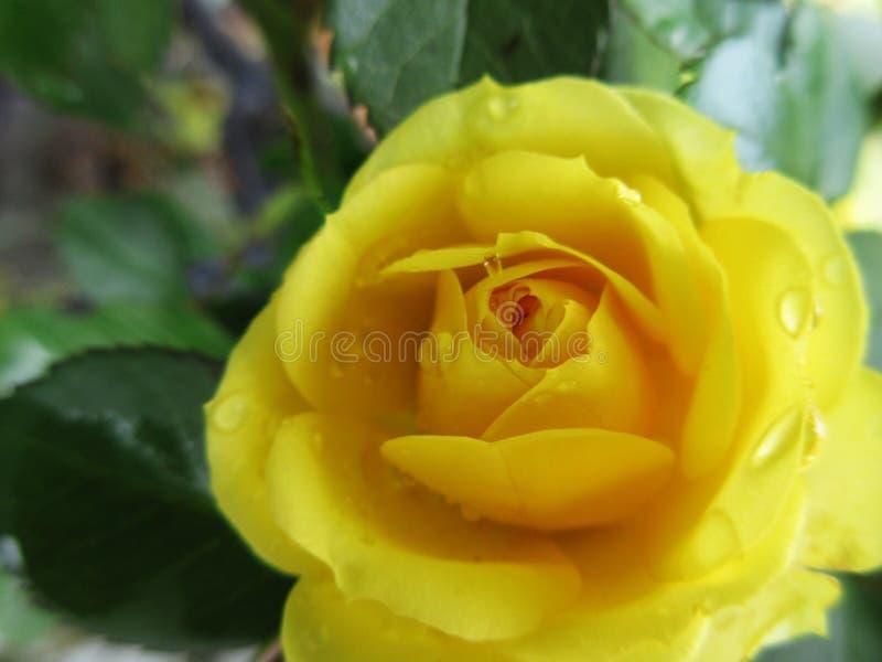 Rosa gialla 3 fotografia stock