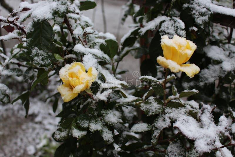 Rosa gialla due sotto neve immagine stock libera da diritti