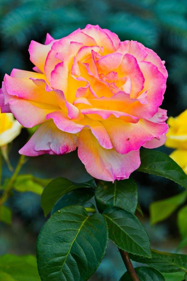 Rosa rosa-gialla fertile lussuosa con le foglie verdi su un gambo marrone con le spine dorsali immagini stock