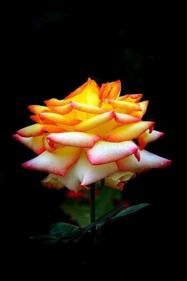 Rosa gialla splendida contro fondo scuro fotografia stock libera da diritti