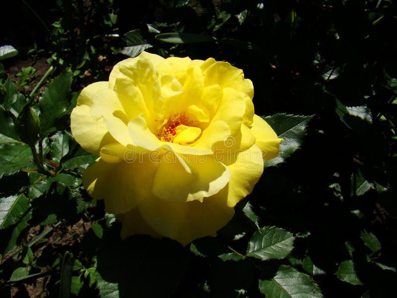 Rosa gialla, rosa gialla su un fondo verde Foto della rosa gialla immagine stock