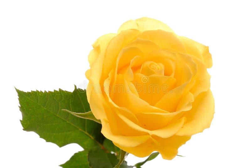 Rosa gialla sulla zona bianca immagine stock
