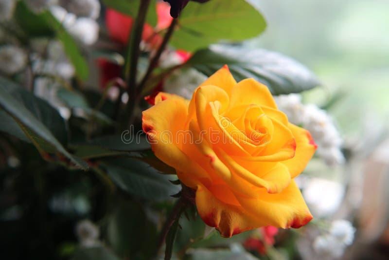 Rosa gialla in un mazzo di macrofotografia come fondo immagine stock libera da diritti