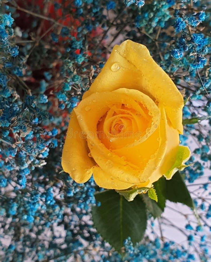 Rosa giallo immagine stock