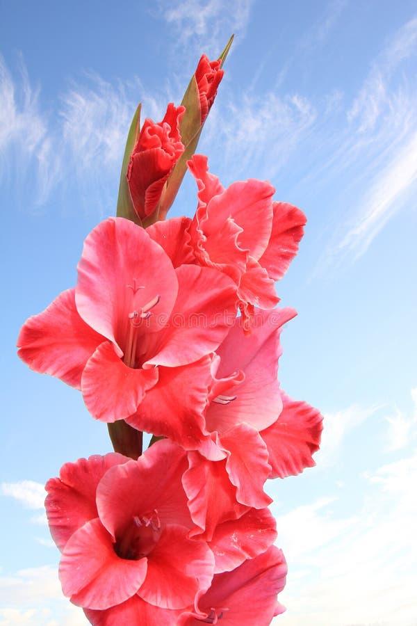 Rosa gladiola Blume gegen blauen Himmel stockfoto
