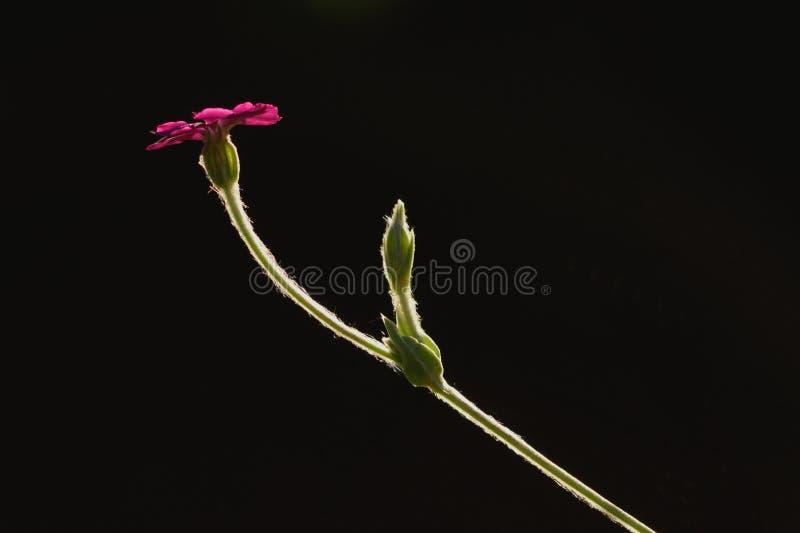Rosa glim arkivfoton