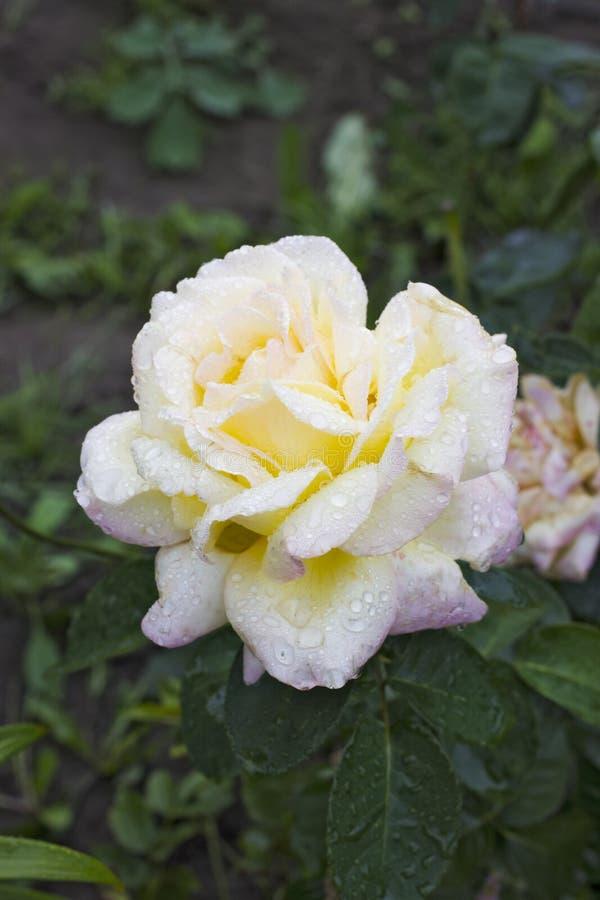 Free Rosa Gloria Dei Royalty Free Stock Photography - 44078267