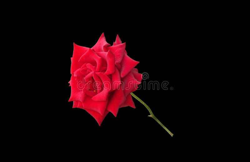 Rosa gloriosa do vermelho isolada no preto fotografia de stock