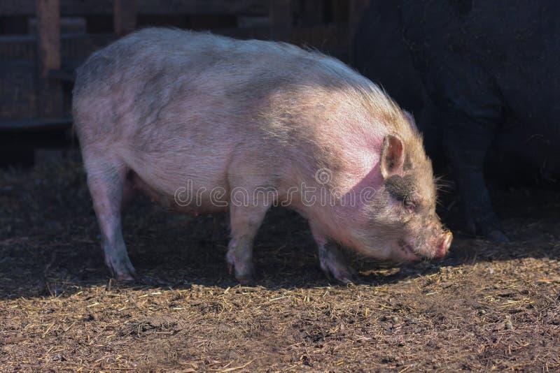 rosa grande do porco imagens de stock royalty free