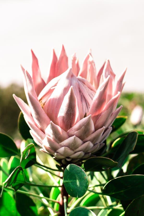 Rosa große Protea-Hälfte geöffnet lizenzfreie stockfotografie