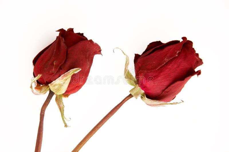 Rosa guasto isolata immagine stock