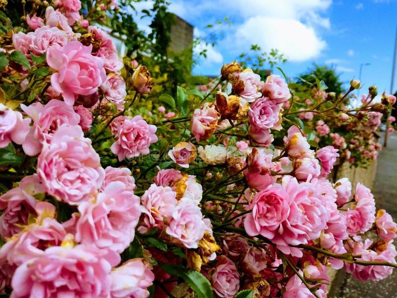 Rosa gullig rosa buske med att blomstra blommor och gräsplansidor med en bakgrund för blå himmel arkivfoto
