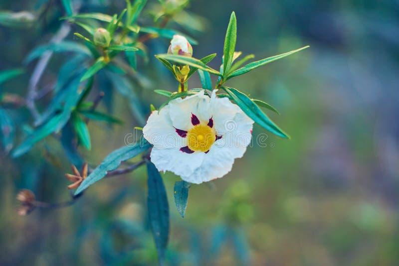 Rosa gummiblom - cistusladanifer i fälten av dehesaen Extremeña, SpainFlower av Jaraen arkivbild