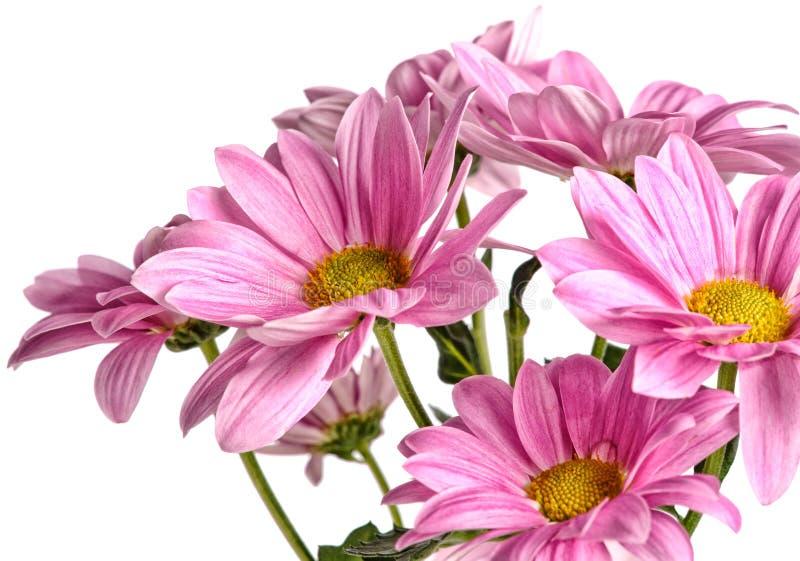 Rosa härlig krysantemum som isoleras på vit royaltyfri bild
