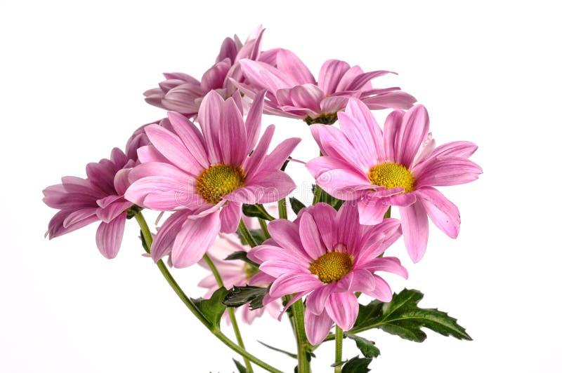Rosa härlig krysantemum som isoleras på vit bakgrund arkivfoton