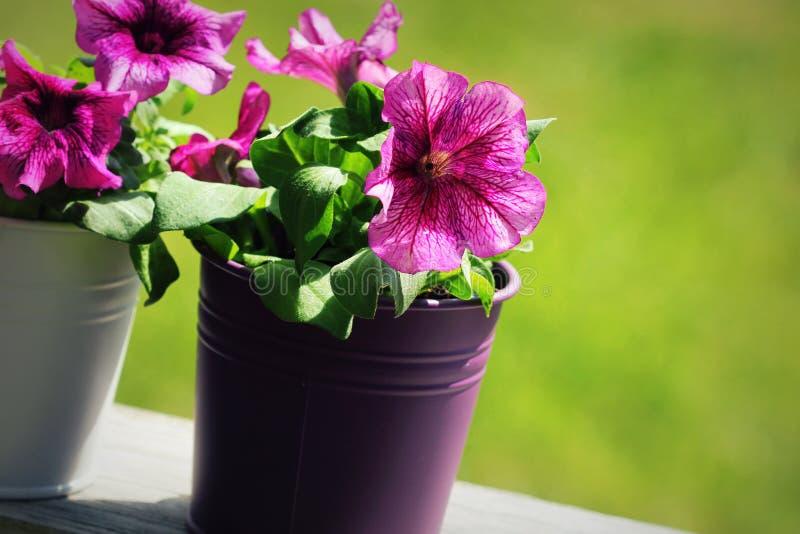 Rosa härlig petuniablomma i kruka petunia som växer i balkong arkivfoton