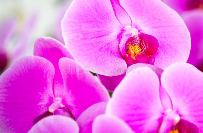Rosa härliga Phalaenopsisorkidér i vintertid på en trädgård royaltyfria bilder